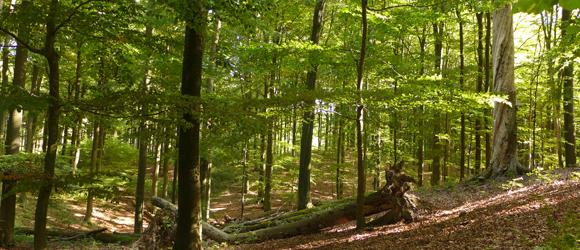Rurales Grün: Buchenwald Grumsin